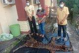 Polisi tangkap jaringan penjualan harimau sumatera