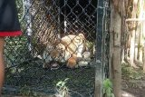 BKSDA di Aceh Singkil berhasil tangkap harimau sumatera