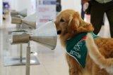 Anjing terlatih bertugas deteksi COVID-19 di bandara Santiago Chile