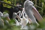 Lebih dari 250 pelikan mati akibat flu burung di Mauritania