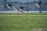 Burung Kaki Bayam ditugasi rawat Lapangan Latih JIS