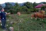 Petani Bungus dapat bantuan sapi Kementan RI, sempat mati 10 ekor kini berkembang jadi 25 ekor