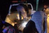 BKSDA Lampung evakuasi buaya muara dari TPI Kuala Penet