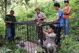 10 konflik manusia dengan satwa liar terjadi di Agam, satu meninggal
