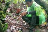 BKSDA: Lima bonggol raflesia di Agam gagal mekar sempurna