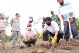 Pemkab Bantaeng siapkan perkebunan jeruk dengan tanam 1.800 bibit di Desa Kaloling
