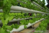 Budidaya tanaman hidroponik di rumah