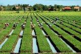 Polbangtan YoMa menghasilkan alternatif sumber benih bawang merah