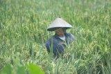 Harga gabah anjlok di  Sumatera Selatan