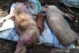 China bentuk sistem kontrol wilayah antisipasi demam babi Afrika