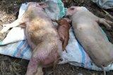 Ratusan ekor ternak babi di Flores Timur mati mendadak