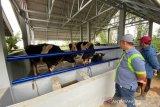 Mercy-USA beri bantuan sapi untuk Poktan Talang Parindu Agam