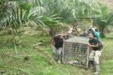 BBKSDA temukan jejak harimau sumatra di Desa Bukit Mas