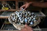 Pekerja memperlihatkan telur puyuh di salah satu usaha peternakan rumah tangga di Desa Lampeunerut, Aceh Besar, Aceh, Selasa (12/1/2021). Data Asosiasi Peternak Puyuh Indonesia menyebutkan untuk memenuhi permintaan pasar domestik produksi telur puyuh di seluruh Indonesia telah mencapai 10 juta butir lebih setiap hari dengan harga jual Rp300 hingga Rp500 per butir. Antara Aceh/Irwansyah Putra.