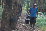 Kenaikan harga karet hanya dinikmati sekitar 25 persen petani Sumsel