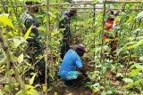 Satgas Yonif 516/CY ajari warga di perbatasan RI-Papua Nugini ilmu pertanian