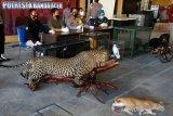 Kapolresta Banda Aceh Kombes Pol Joko Krisdiyanto (tiga kiri) bersama petugas Balai Konservasi Sumber Daya Alam (BKSDA) Aceh menyampaikan keterangan pers terkait penyitaan opsetan serta satwa langka dan dilindungi di Banda Aceh, Aceh, Kamis (14/1/2021). Personil unit Tipiter dan Opsnal Jatanras Sat Reskrim Polresta Banda Aceh mengamankan dan menyita seekor Macan Tutul, Macan Kumbang dan dua ekor burung Cenderawasih yang sudah di awetkan serta dua ekor burung Kakak tua jambul kuning dan seekor burung merak dalam kondisi hidup dari seorang warga Kota Banda Aceh yang sedang menjalani proses hukum kasus narkotika. Antara Aceh/Irwansyah Putra.