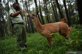 Perawat satwa memberi susu bayi Llama (Lama glama) (Tursiops truncatus) yang berjenis kelamin betina di  Taman Safari Prigen, Pasuruan, Jawa Timur, Jumat (15/1/2021). Llama yang lahir pada 20 September 2020  tersebut diberi nama Inul dan menambah koleksi Llama di taman tersebut menjadi 16 ekor . Antara Jatim/Zabur Karuru