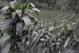 Petani membersihkan debu vulkanik letusan Gunung Semeru yang menempel pada tanaman di kebun miliknya di Desa Wonoagung, Lumajang, Jawa Timur, Minggu (17/1/2021). Akibat Gunung Semeru erupsi menyebabkan sejumlah desa terdampak abu vulkanik. Antara Jatim/Zabur Karuru