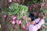 Harga bawang merah tingkat petani di sentra produksi Alahan Panjang Rp20.000 per kilogram
