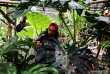 Ujeng merawat tanaman hias di galeri tanaman Twinsplants Bengkulu, Selasa (19/1/2021). Ujeng yang berprofesi sebagai fotografer studio tersebut beralih menjual tanaman hias jenis philodendron dengan harga Rp.250 ribu hingga Rp.10 juta untuk bertahan di tengah pandemi COVID-19 karena sepinya permintaan foto akibat dari izin keramaian yang di batasi oleh pemerintah setempat. ANTARA FOTO/David Muharmansyah