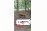 BKSDA klarifikasi video viral harimau di tengah hutan jati