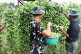 Satgas Yonif 312/KH kembangkan pertanian di perbatasan RI-PNG