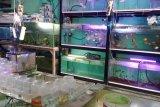Berawal hobi, raup rezeki budidaya ikan hias di tengah pandemi