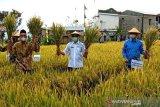 Temanggung kembangkan padi varietas inpari 32
