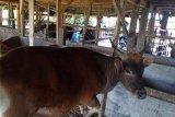 Pedagang Sulsel alihkan distribusi sapi ke Pelabuhan Parepare pascagempa Sulbar