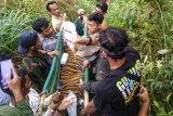 Tim gabungan Balai Konservasi Sumber Daya Alam (BKSDA) Aceh memikul anak Harimau Sumatera (Panthera Tigris Sumatrae) yang terkena jerat di Desa Gulo, Darul Hasanah, Aceh Tenggara, Aceh, Sabtu (23/1/2021). ANTARA FOTO/Faisal Selian/Lmo/foc.