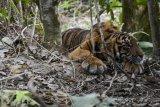 Seekor anak Harimau Sumatera (Panthera Tigris Sumatrae) terkena jerat di Desa Gulo, Darul Hasanah, Aceh Tenggara, Aceh, Sabtu (23/1/2021). ANTARA FOTO/Faisal Selian/Lmo/foc.