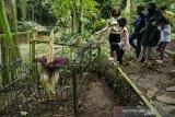 Pengunjung melihat tumbuhan bunga bangkai raksasa (Amorphopallus titanium) yang sudah mengalami fase mekar di Taman Hutan Raya Ir Djuanda, Bandung, Jawa Barat, Selasa (26/1/2021). Tumbuhan yang berdiameter sekitar 1,5 meter dan tinggi dua meter tersebut memerlukan waktu tiga hingga empat tahun sekali untuk fase mekar serta merupakan tumbuhan klasifikasi langka menurut Badan Konservasi Dunia (International Union for Conservation of Nature/IUCN) yang dilindungi dengan Peraturan Pemerintah Nomor 7 tahun 1999 di Indonesia. ANTARA JABAR/Novrian Arbi/agr