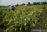 Buruh tani memanen cabai rawit di areal persawahan Desa Kendalsari, Kecamatan Sumobito, Kabupaten Jombang, Jawa Timur, Senin (25/1/2021). Menurut petani cabai rawit merah tersebut selanjutnya dijual ke tengkulak dengan harga bervariasi mulai Rp 50-Rp53 ribu per kilogramnya, sementara harga jual di pasar masih mencapai Rp 70 ribu per kg. Antara Jatim/Syaiful Arif/zk.