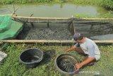 Petambak memanen ikan lele di areal tambak budidaya desa Kenanga, Sindang, Indramayu, Jawa Barat, Selasa (26/1/2021). Kementerian Kelautan dan Perikanan menagetkan peningkatan produktivitas perikanan budidaya dari tahun 2020 sebanyak 18,44 juta ton menjadi 19, 47 juta ton pada tahun 2021. ANTARA JABAR/Dedhez Anggara/agr