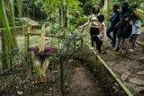 Pengunjung melihat tumbuhan bunga bangkai raksasa (Amorphopallus titanium) yang sudah mengalami fase mekar di Taman Hutan Raya Ir Djuanda, Bandung, Jawa Barat, Selasa (26/1/2021). Tumbuhan yang berdiameter sekitar 1,5 meter dan tinggi dua meter tersebut memerlukan waktu tiga hingga empat tahun sekali untuk fase mekar serta merupakan tumbuhan klasifikasi langka menurut Badan Konservasi Dunia (International Union for Conservation of Nature/IUCN) yang dilindungi dengan Peraturan Pemerintah Nomor 7 tahun 1999 di Indonesia. ANTARA FOTO/Novrian Arbi/nym.