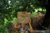 Produksi Manggis Di Padang