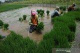 Buruh tani mencabuti bibit padi untuk selanjutnya ditanam kembali di areal persawahan Desa Kendalsari, Kecamatan Sumobito, Kabupaten Jombang, Jawa Timur, Senin (25/1/2021). Setiap buruh pencabut bibit padi mendapatkan upah Rp 50 ribu untuk kerja mulai pukul 07.00-12.00 WIB. Antara Jatim/Syaiful Arif/zk.