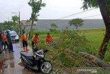 Pohon tumbang di Sragen seorang pengendara motor tewas