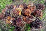 Hasil Panen TBS Kelapa Sawit milik Muhadi (45) salah satu petani kelapa sawit Desa Rukam, Kabupaten Bangka, Provinsi Kepulauan Bangka Belitung pada Selasa (26/1). Saat ini harga TBS Sawit naik Rp1.000 dari sebelumnya Rp900 menjadiRp1.900 per kilo gram. Mereka berharap agar harga TBS sawit ini terus beranjak naik sehingga bisa mencukupi perekonomian keluarga. (babel.antaranews.com/ Sahrul Effendi)