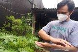 Warga Temanggung kembangkan maggot BSF sebagai pakan ternak alternatif