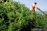 NTB menargetkan produksi rumput laut 930.000 ton