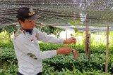 Adi Sumari berhasil lakukan pembibitan mangrove