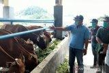 Buol gunakan mini ranch genjot kualitas populasi sapi