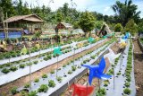 Masyarakat Bantaeng fokus kembangkan budidaya stroberi