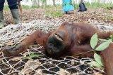 Tiga ekor orangutan di Kotim diselamatkan BKSDA dalam sehari