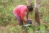 Sunawati (42) petani karet Desa Rukam, Kabupaten Bangka, Provinsi Kepulauan Bangka Belitung mengaku terkendala musim hujan untuk memproduksi getah sehingga berpengaruh terhadap pendapatan mereka. Produksi getah karet musim hujan jauh lebih sedikit dibanding saat cuaca stabil karena getah karet habis ditimpa hujan, selain itu kualitas karet yang bagus dan cara mengambil getah karet itu sendiri batangnya harus dalam kondisi kering, sehingga memudahkan untuk menderes getahnya. (babel.antaranews.com/Sahrul Effendi)