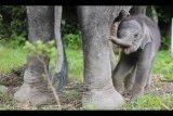 Anak gajah sumatera lahir di pusat latihan satwa Tangkahan, Sumatera Utara