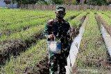 Prajurit Yonif 405/Surya Kusuma Banyumas panen raya bawang merah