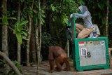 Tiga orangutan betina direlokasi  ke Pulau Salat